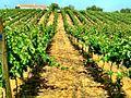 Flickr - ronsaunders47 - rows of vines.jpg