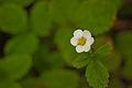 Flower, Wild Strawberry - Flickr - nekonomania.jpg