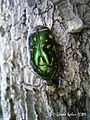Flower chafer from the Moluccas (5059099320).jpg