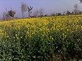 Flower fields - panoramio (1).jpg