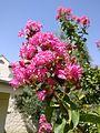 Flower of lagerstroemia indica.jpg