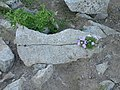 Flower on Bearhead Mt. - panoramio.jpg