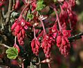 Flowering Currant - Flickr - S. Rae.jpg