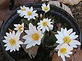 Flowering bloodroot - potted P.2005.04.04.jpg