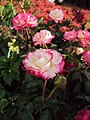 Flowers - Uncategorised Garden plants 243.JPG
