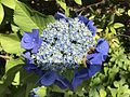 Flowers of Hydrangea macrophylla 20170614.jpg