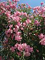 Flowers of nerium oleander 20150731.jpg