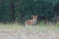 Fox field.png
