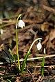 Frühlings-Knotenblume, Leucojum vernum 23.JPG