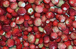 fraises du fraisier sauvage ou des bois