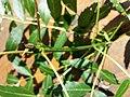Fraxinus angustifolia subsp. danubialis sl3.jpg