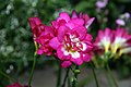 Freesia in Brookside Gardens.jpg