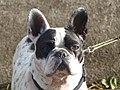 French bulldog head, Josselin 02.jpg
