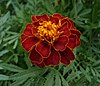 French marigold garden 2009 G1.jpg
