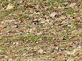 Fringilla coelebs Ploërmel 2.jpg