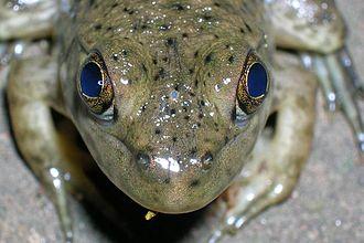 Parietal eye - The parietal eye (very small grey oval between the regular eyes) of a juvenile bullfrog (Rana catesbeiana)