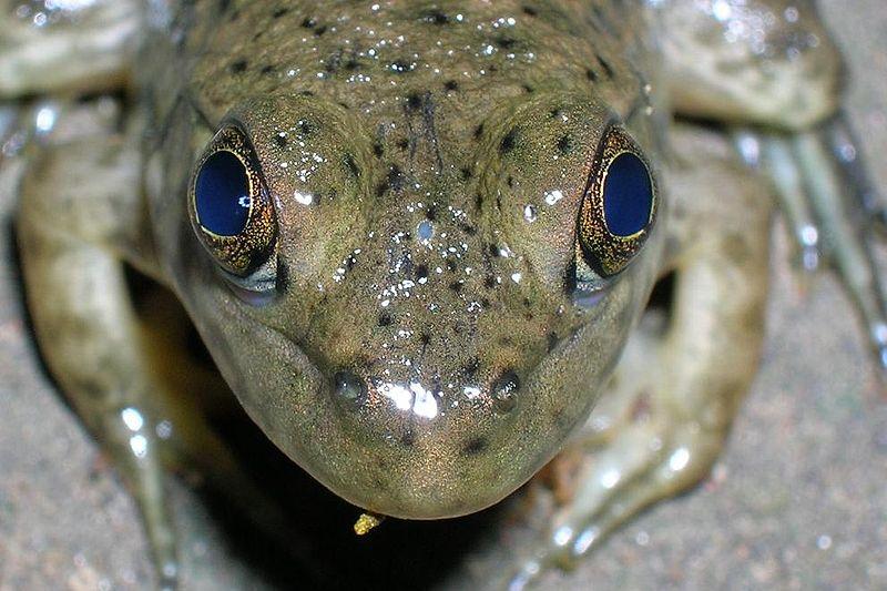 File:Frog parietal eye.JPG