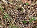 Frosch bei Inzell 28092005.JPG