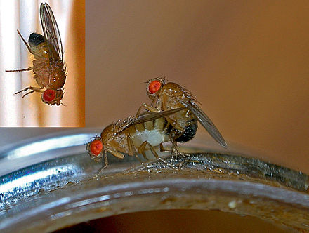 Common fruit fly females prefer to mate with their own brothers over unrelated males. Fruit flies.jpg