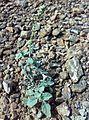 Fujeirah north 1501200713080 Heliotropium calcareum.jpg