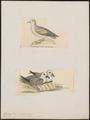 Fulmarus glacialoïdes - 1700-1880 - Print - Iconographia Zoologica - Special Collections University of Amsterdam - UBA01 IZ17900084.tif