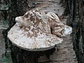 Fungi in the woods at Woodhall Spa - geograph.org.uk - 471458.jpg