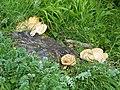 Fungus, Cissbury Rings - geograph.org.uk - 1332602.jpg