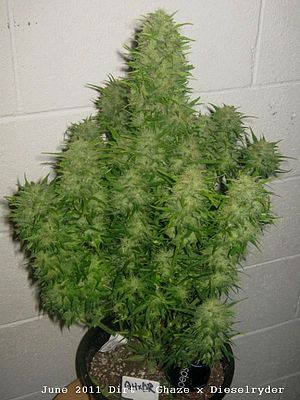 Autoflowering cannabis - GHaze x Dieselryder autoflower