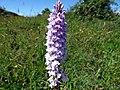 GOC Ashridge & Ivinghoe 086 Common spotted orchid (36400533791).jpg