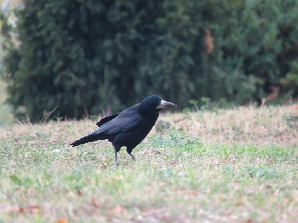 Gačac, ptice u Nišu, Srbija (1)