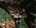 Gaboon Forest Frog (Scotobleps gabonicus) (7706548124).jpg