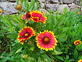 Gaillardia aristata in Quaras.JPG