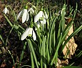 Galanthus nivalis - common snowdrops (5 April 2015, Newark, Ohio, USA) 3 (16522304263).jpg
