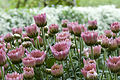 Garden Mums at small farm (2866858036).jpg