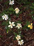 Gardenia jasminoides s2.JPG