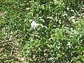 Gardenology.org-IMG 1973 hunt0903.jpg