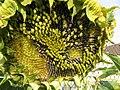 Garten, 22.08.2012, Sonnenblume, reife Kerne schon von Vögeln gefressen. - panoramio.jpg