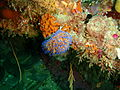 Gas flame nudibranch at Rheeder's Reef P2277157.JPG
