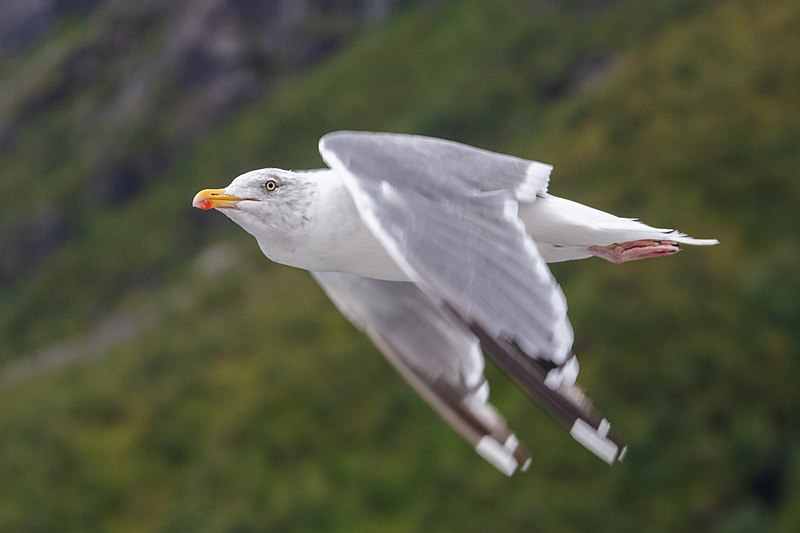 File:Gaviota Argéntea (Larus Argentatus), Svolvær, Lofoten
