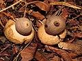 Geastrum saccatum 12434847.jpg