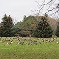 Geese in Sheridan Park.jpg