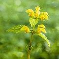 Gele dovenetel (Lamium galeobdolon). 12-05-2021 (actm.).jpg