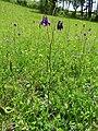 Gemeine Akelei (Aquilegia vulgaris) 01.jpg