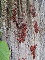 Gemeine Feuerwanzen (Pyrrhocoris apterus).jpg