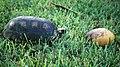 Geochelone denticulata 3 (Suriname).jpg