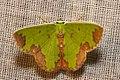 Geometridae (15887684432).jpg