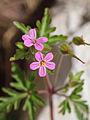 Geranium purpureum-1.jpg