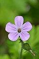 Geranium sp. - Guelph, Ontario.jpg