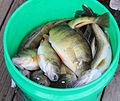 Gfp-minnesota-voyaguers-national-park-fish-catch.jpg