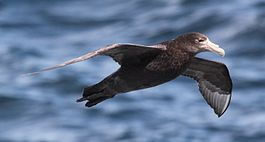 Giant Petrel flying over the South Atlantic (5544287810).jpg
